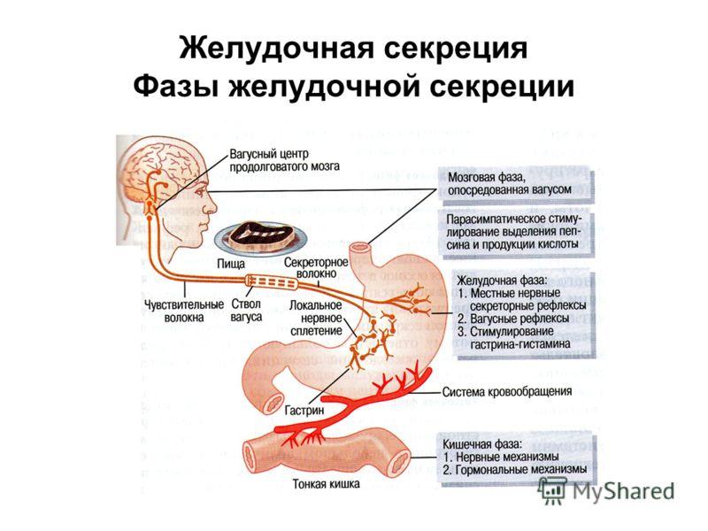 Желудочная секреция Фазы желудочной секреции