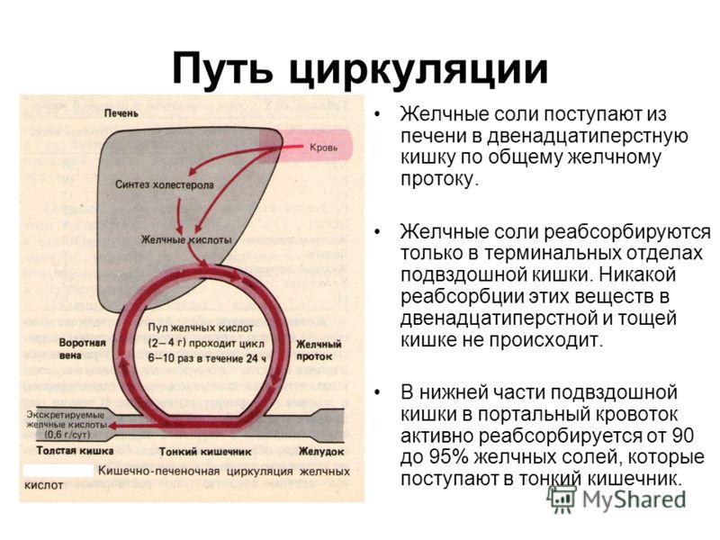Путь циркуляции Желчные соли поступают из печени в двенадцатиперстную кишку по общему желчному протоку. Желчные соли реабсорбируются только в терминальных отделах подвздошной кишки. Никакой реабсорбции этих веществ в двенадцатиперстной и тощей кишке