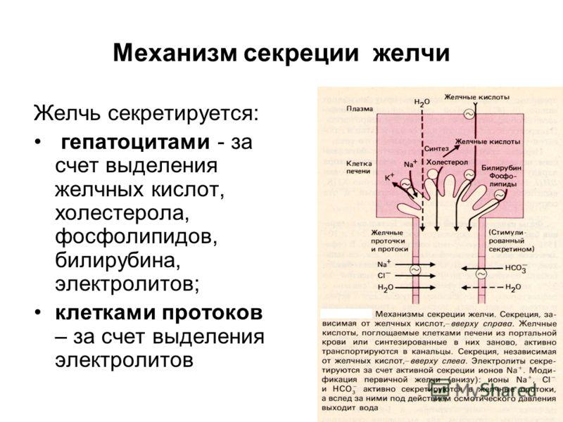 Механизм секреции желчи Желчь секретируется: гепатоцитами - за счет выделения желчных кислот, холестерола, фосфолипидов, билирубина, электролитов; клетками протоков – за счет выделения электролитов