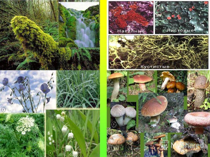 1)Самый нижний ярус – мхи и лишайники. 2)Растения с мягкими зелёными стеблями – травы. 3)Многолетние растения, у которых от общего корня отходит несколько твёрдых стеблей – кустарники. 4)Многолетние растения с крупным твёрдым стеблем – деревья.