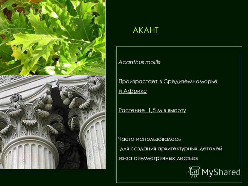 АКАНТ Acanthus mollis Произрастает в Средиземноморье и Африке Растение 1,5 м в высоту Часто использовалось для создания архитектурных деталей из-за симметричных листьев