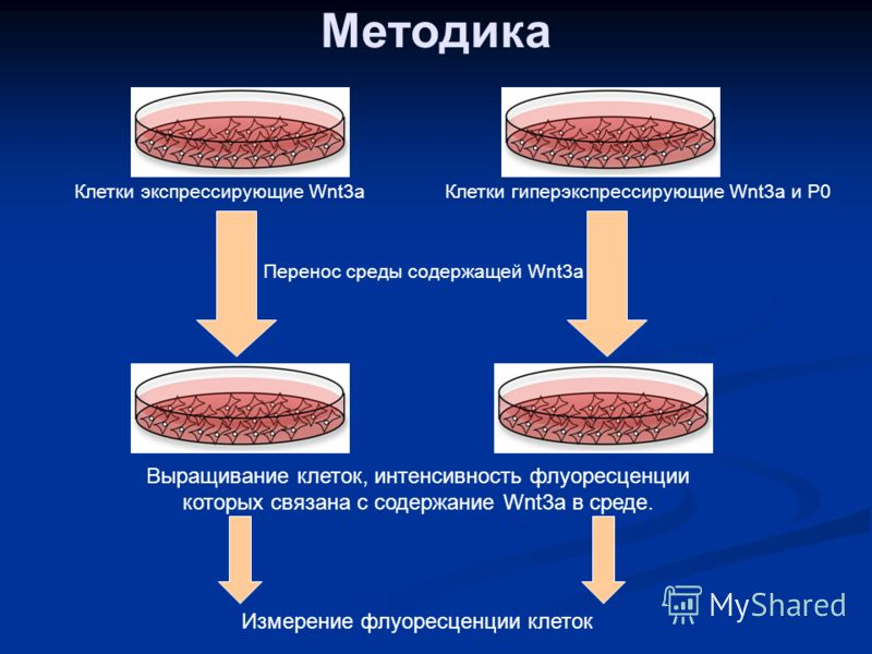 Методика Клетки экспрессирующие Wnt3аКлетки гиперэкспрессирующие Wnt3а и Р0 Перенос среды содержащей Wnt3а Выращивание клеток, интенсивность флуоресценции которых связана с содержание Wnt3а в среде. Измерение флуоресценции клеток