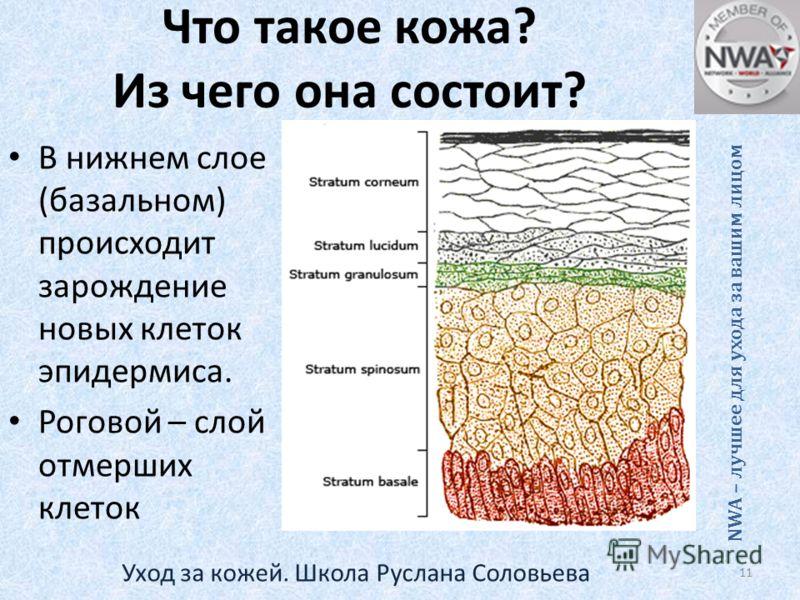 Что такое кожа? Из чего она состоит? В нижнем слое (базальном) происходит зарождение новых клеток эпидермиса. Роговой – слой отмерших клеток NWA – лучшее для ухода за вашим лицом 11 Уход за кожей. Школа Руслана Соловьева