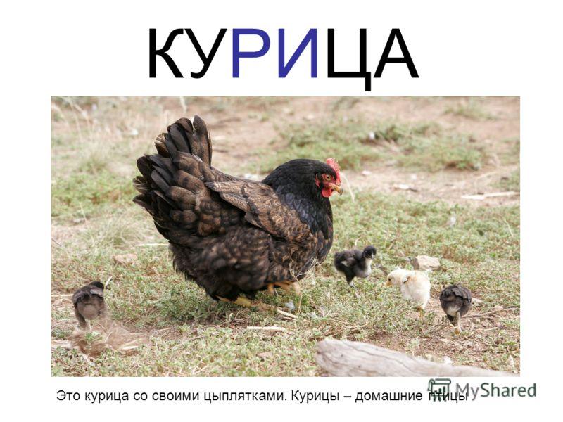 КУРИЦА Это курица со своими цыплятками. Курицы – домашние птицы