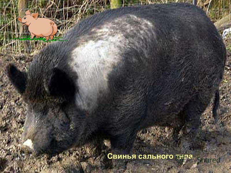 Свинья сального типа