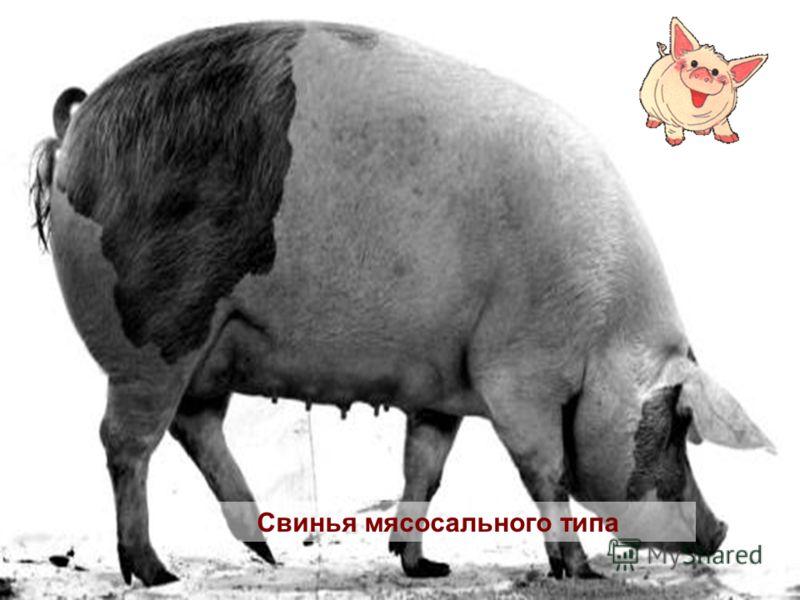 Свинья мясосального типа