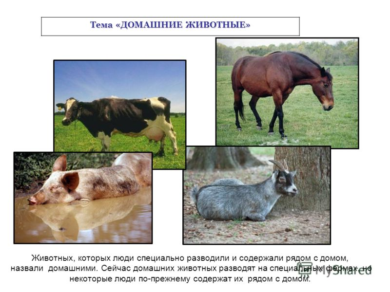 Животных, которых люди специально разводили и содержали рядом с домом, назвали домашними. Сейчас домашних животных разводят на специальных фермах, но некоторые люди по-прежнему содержат их рядом с домом. Тема «ДОМАШНИЕ ЖИВОТНЫЕ»