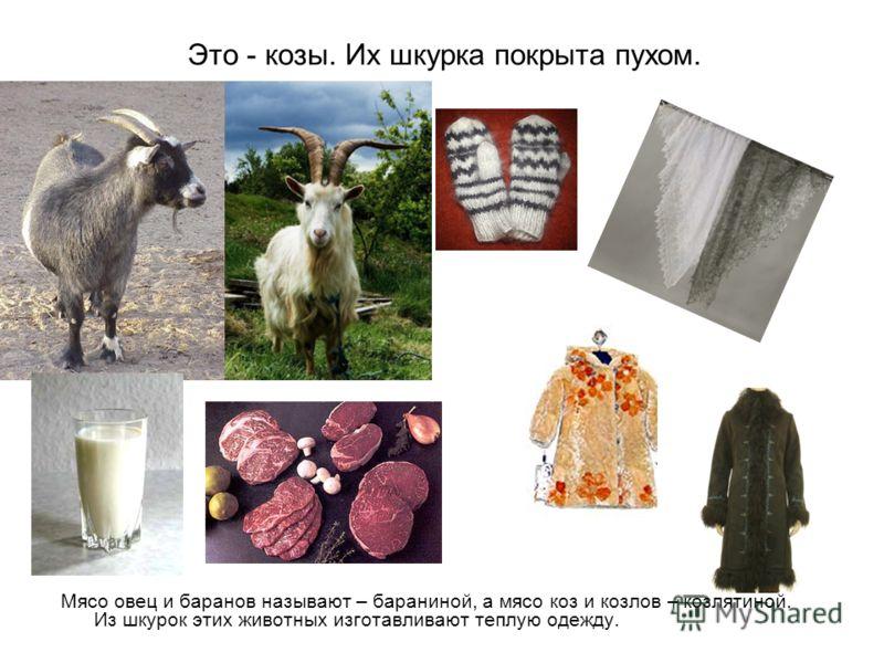 Это - козы. Их шкурка покрыта пухом. Мясо овец и баранов называют – бараниной, а мясо коз и козлов – козлятиной. Из шкурок этих животных изготавливают теплую одежду.