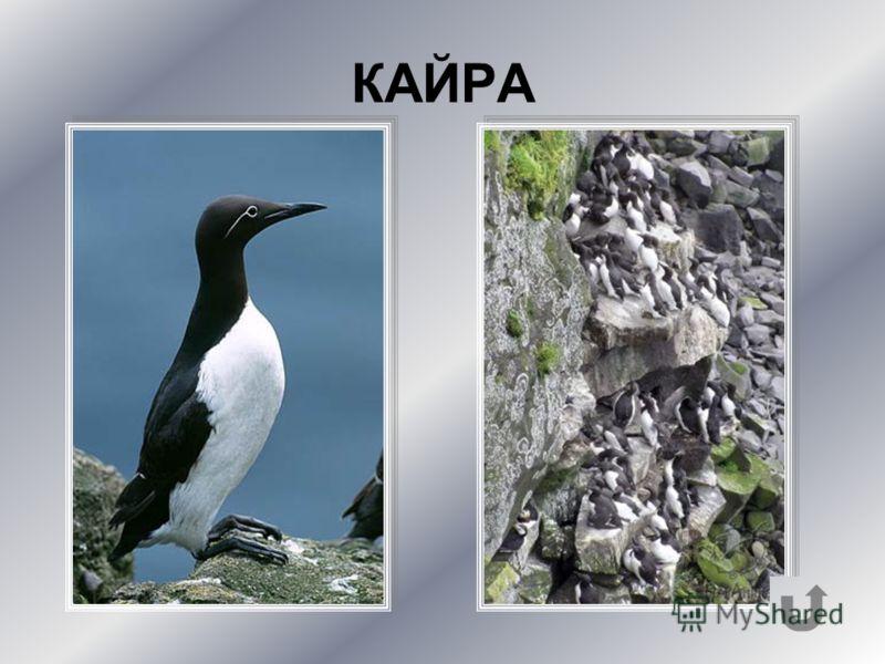Одна из самых шумных птиц на арктических «птичьих базарах».