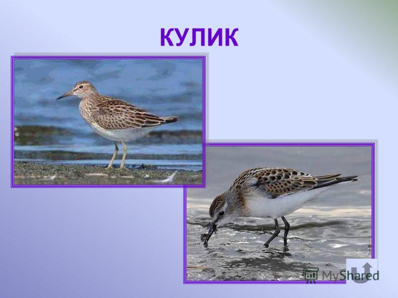 Птица, прилетающая в тундру весной, обитает у болот, где находит корм.