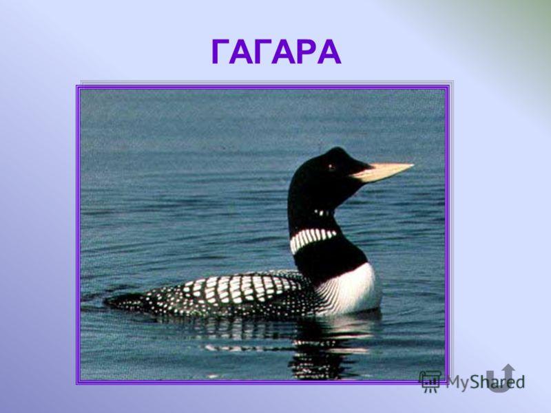 Осторожная птица, которая хорошо плавает и ныряет, питается рыбой.