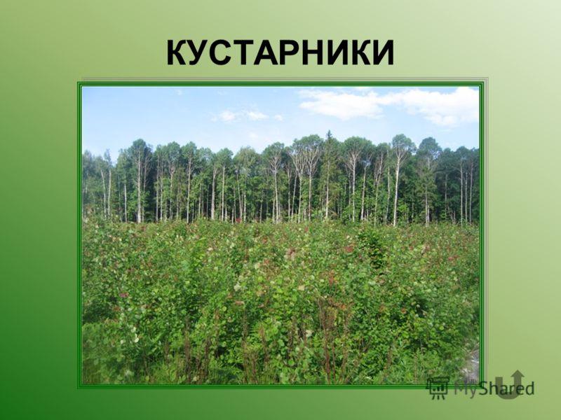 Растения с древовидными ветвями, начинающимися почти у самой земли, образующие средний ярус леса.