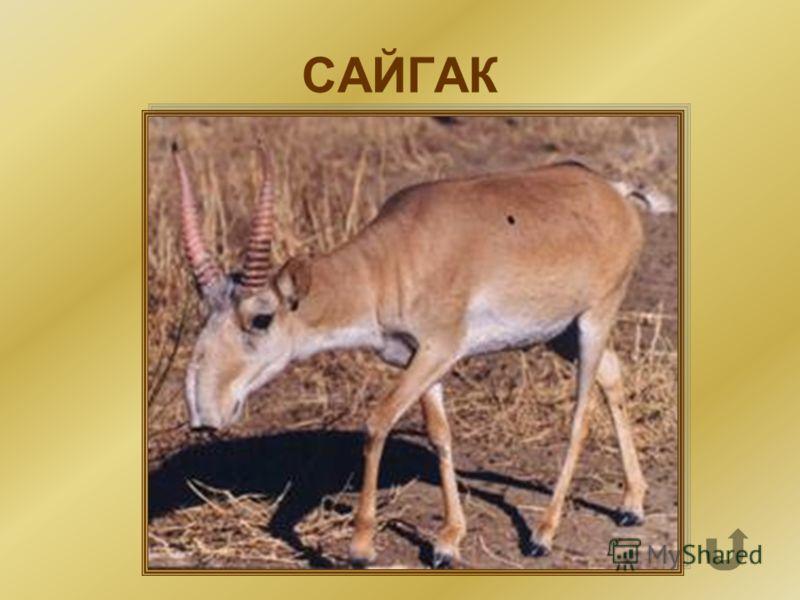 Охраняемое парнокопытное полорогое степное животное, родственное антилопе. У него очень смешной нос, хорошо развито обоняние и слух, а вот зрение слабое.