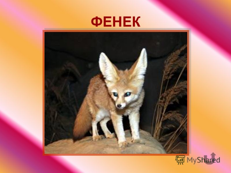 Маленькая рыжеватая или золотистая лисичка. У неё самые большие уши среди хищных зверей.