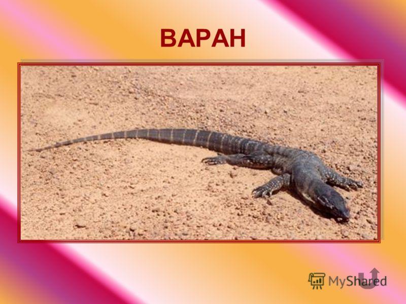 «Пустынный крокодил» - одна из самых крупных ящериц в мире.