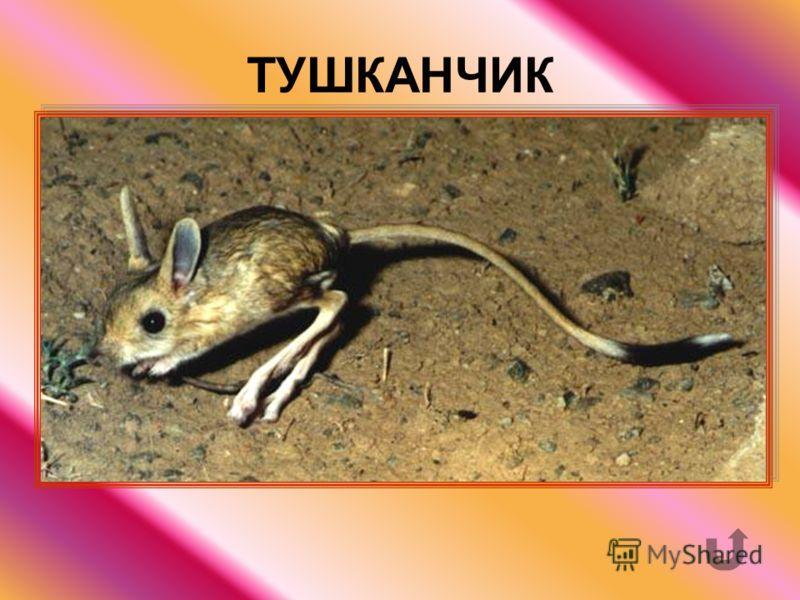 Грызун с длинными задними ногами и с длинным хвостом, живущий в степях, в пустыне.