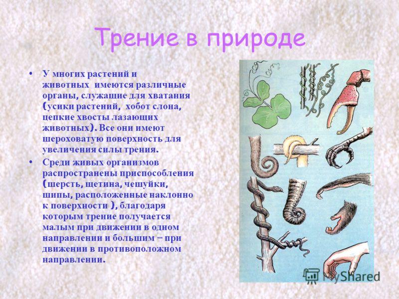 Трение в природе У многих растений и животных имеются различные органы, служащие для хватания ( усики растений, хобот слона, цепкие хвосты лазающих животных ). Все они имеют шероховатую поверхность для увеличения силы трения. Среди живых организмов р