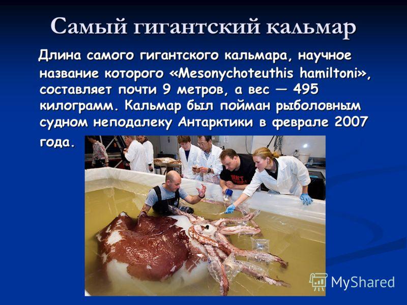 Самый гигантский кальмар Длина самого гигантского кальмара, научное название которого «Mesonychoteuthis hamiltoni», составляет почти 9 метров, а вес 495 килограмм. Кальмар был пойман рыболовным судном неподалеку Антарктики в феврале 2007 года. Длина