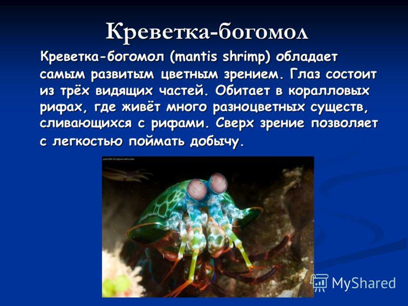 Креветка-богомол (mantis shrimp) обладает самым развитым цветным зрением. Глаз состоит из трёх видящих частей. Обитает в коралловых рифах, где живёт много разноцветных существ, сливающихся с рифами. Сверх зрение позволяет с легкостью поймать добычу.