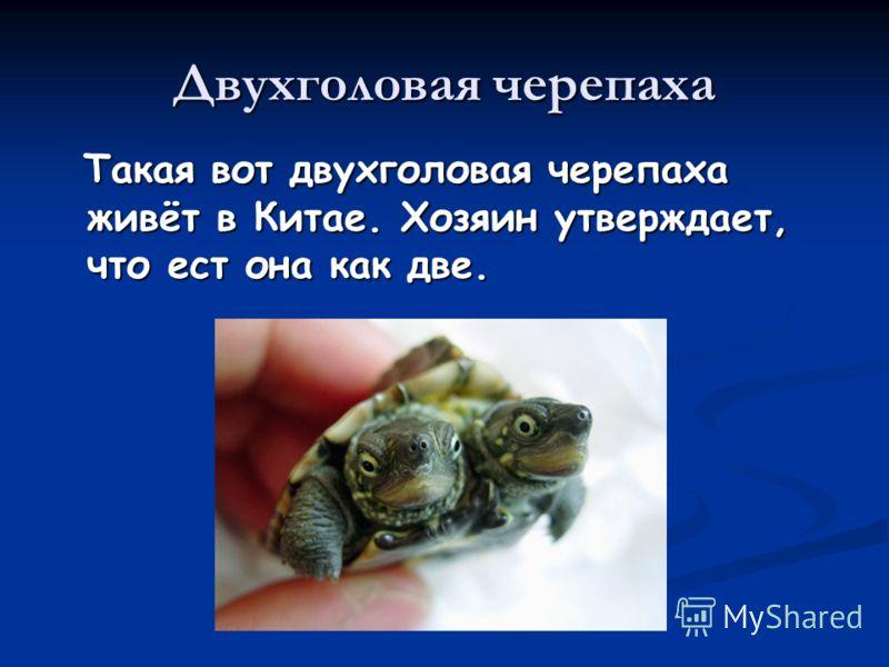 Двухголовая черепаха Такая вот двухголовая черепаха живёт в Китае. Хозяин утверждает, что ест она как две. Такая вот двухголовая черепаха живёт в Китае. Хозяин утверждает, что ест она как две.