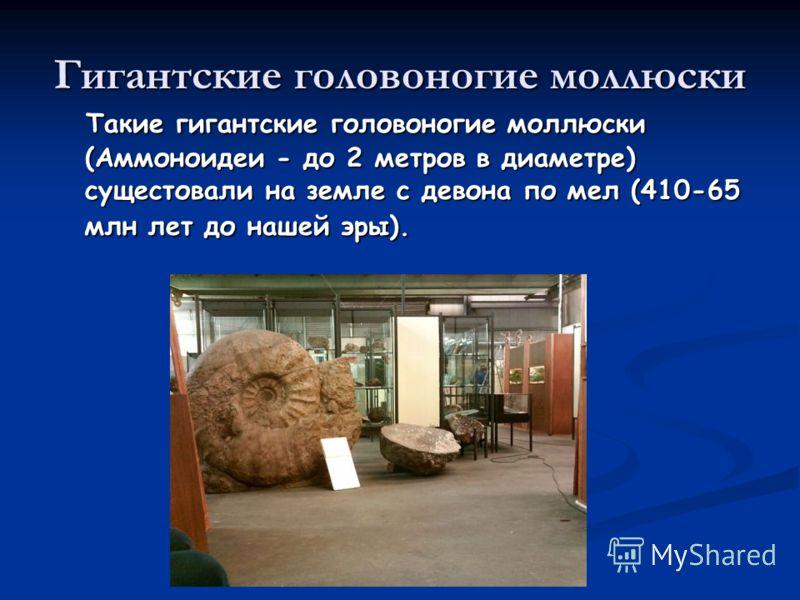 Гигантские головоногие моллюски Такие гигантские головоногие моллюски (Аммоноидеи - до 2 метров в диаметре) сущестовали на земле с девона по мел (410-65 млн лет до нашей эры). Такие гигантские головоногие моллюски (Аммоноидеи - до 2 метров в диаметре