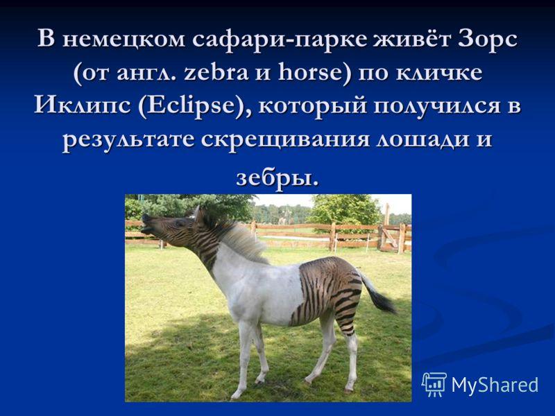 В немецком сафари-парке живёт Зорс (от англ. zebra и horse) по кличке Иклипс (Eclipse), который получился в результате скрещивания лошади и зебры.