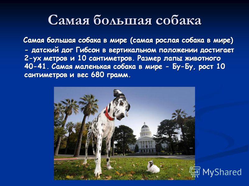 Самая большая собака Самая большая собака в мире (самая рослая собака в мире) - датский дог Гибсон в вертикальном положении достигает 2-ух метров и 10 сантиметров. Размер лапы животного 40-41. Самая маленькая собака в мире - Бу-Бу, рост 10 сантиметро