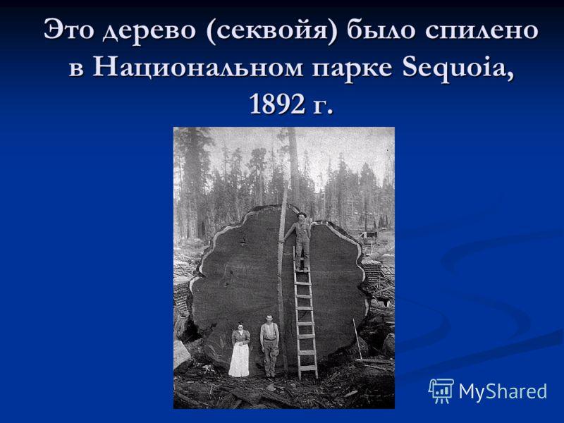 Это дерево (секвойя) было спилено в Национальном парке Sequoia, 1892 г.