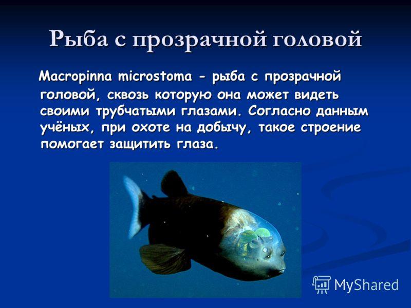 Рыба с прозрачной головой Macropinna microstoma - рыба с прозрачной головой, сквозь которую она может видеть своими трубчатыми глазами. Согласно данным учёных, при охоте на добычу, такое строение помогает защитить глаза. Macropinna microstoma - рыба