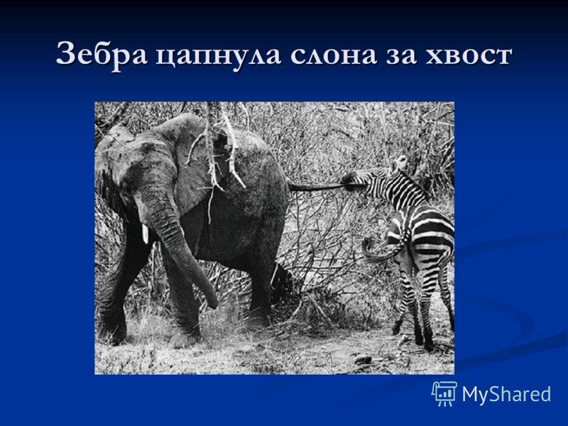 Зебра цапнула слона за хвост
