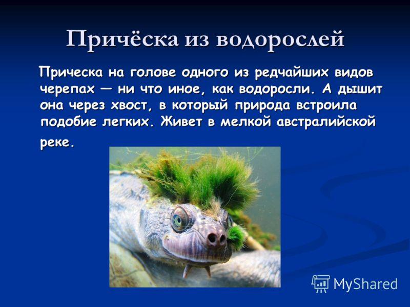 Причёска из водорослей Прическа на голове одного из редчайших видов черепах ни что иное, как водоросли. А дышит она через хвост, в который природа встроила подобие легких. Живет в мелкой австралийской реке. Прическа на голове одного из редчайших видо