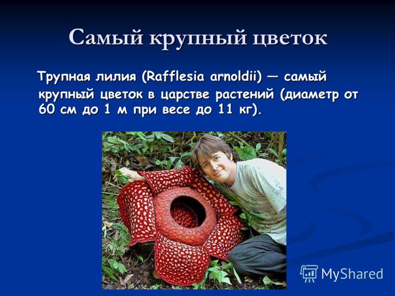 Самый крупный цветок Трупная лилия (Rafflesia arnoldii) самый крупный цветок в царстве растений (диаметр от 60 см до 1 м при весе до 11 кг). Трупная лилия (Rafflesia arnoldii) самый крупный цветок в царстве растений (диаметр от 60 см до 1 м при весе