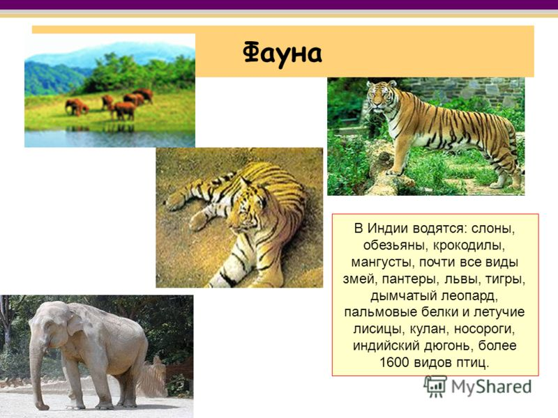 Фауна В Индии водятся: слоны, обезьяны, крокодилы, мангусты, почти все виды змей, пантеры, львы, тигры, дымчатый леопард, пальмовые белки и летучие лисицы, кулан, носороги, индийский дюгонь, более 1600 видов птиц.