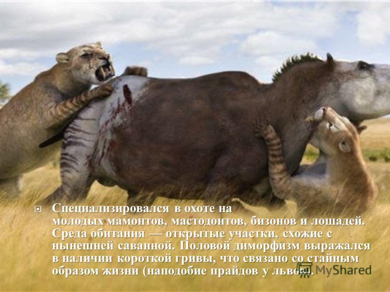 Специализировался в охоте на молодых мамонтов, мастодонтов, бизонов и лошадей. Среда обитания открытые участки, схожие с нынешней саванной. Половой диморфизм выражался в наличии короткой гривы, что связано со стайным образом жизни ( наподобие прайдов