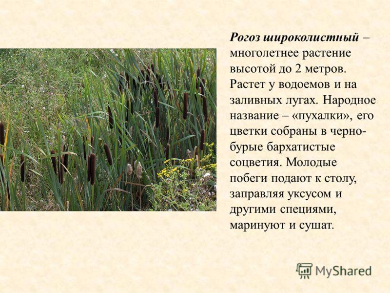 Рогоз широколистный – многолетнее растение высотой до 2 метров. Растет у водоемов и на заливных лугах. Народное название – «пухалки», его цветки собраны в черно- бурые бархатистые соцветия. Молодые побеги подают к столу, заправляя уксусом и другими с
