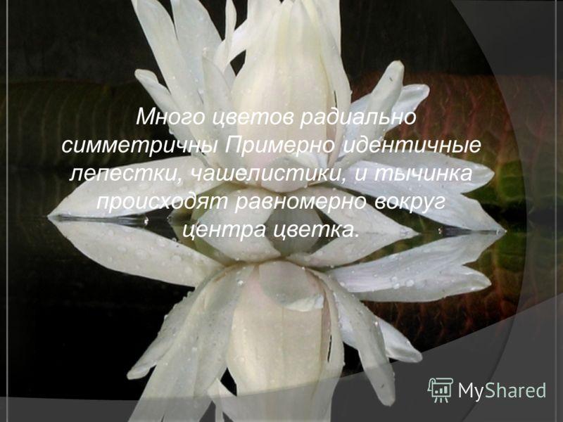 Много цветов радиально симметричны Примерно идентичные лепестки, чашелистики, и тычинка происходят равномерно вокруг центра цветка.