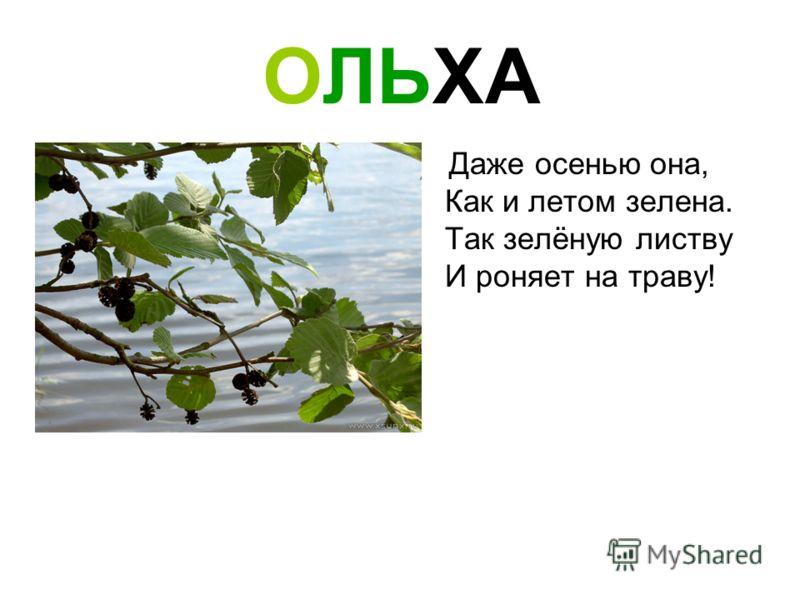 ОЛЬХА Даже осенью она, Как и летом зелена. Так зелёную листву И роняет на траву!
