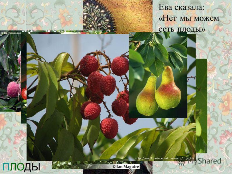 ПЛОДЫ Ева сказала: «Нет мы можем есть плоды»