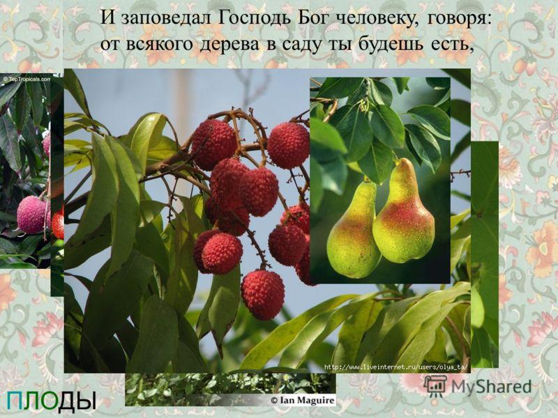И заповедал Господь Бог человеку, говоря: от всякого дерева в саду ты будешь есть, ПЛОДЫ