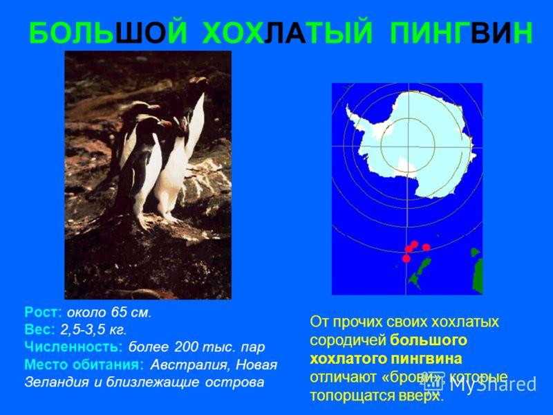БОЛЬШОЙ ХОХЛАТЫЙ ПИНГВИН Рост: около 65 см. Вес: 2,5-3,5 кг. Численность: более 200 тыс. пар Место обитания: Австралия, Новая Зеландия и близлежащие острова От прочих своих хохлатых сородичей большого хохлатого пингвина отличают «брови», которые топо
