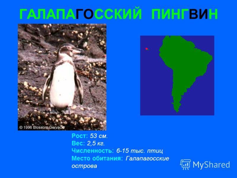 ГАЛАПАГОССКИЙ ПИНГВИН Рост: 53 см. Вес: 2,5 кг. Численность: 6-15 тыс. птиц Место обитания: Галапагосские острова