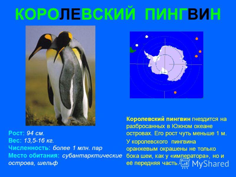 КОРОЛЕВСКИЙ ПИНГВИН Рост: 94 см. Вес: 13,5-16 кг. Численность: более 1 млн. пар Место обитания: субантарктические острова, шельф Королевский пингвин гнездится на разбросанных в Южном океане островах. Его рост чуть меньше 1 м. У королевского пингвина