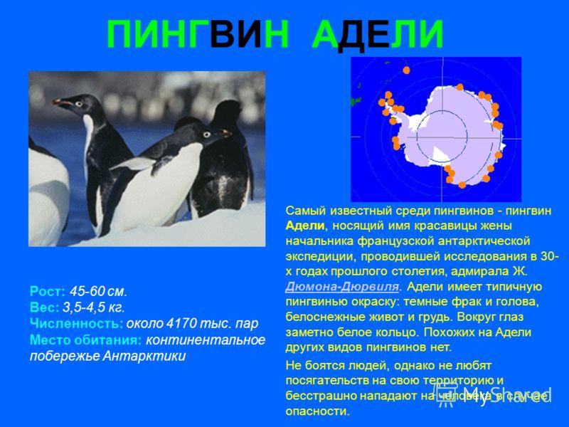 ПИНГВИН АДЕЛИ Рост: 45-60 см. Вес: 3,5-4,5 кг. Численность: около 4170 тыс. пар Место обитания: континентальное побережье Антарктики Самый известный среди пингвинов - пингвин Адели, носящий имя красавицы жены начальника французской антарктической экс