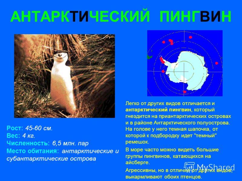 АНТАРКТИЧЕСКИЙ ПИНГВИН Рост: 45-60 см. Вес: 4 кг. Численность: 6,5 млн. пар Место обитания: антарктические и субантарктические острова Легко от других видов отличается и антарктический пингвин, который гнездится на приантарктических островах и в райо