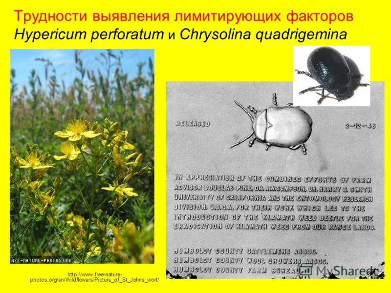 Трудности выявления лимитирующих факторов Hypericum perforatum и Chrysolina quadrigemina http://www.free-nature- photos.org/en/Wildflowers/Picture_of_St_Johns_wort/
