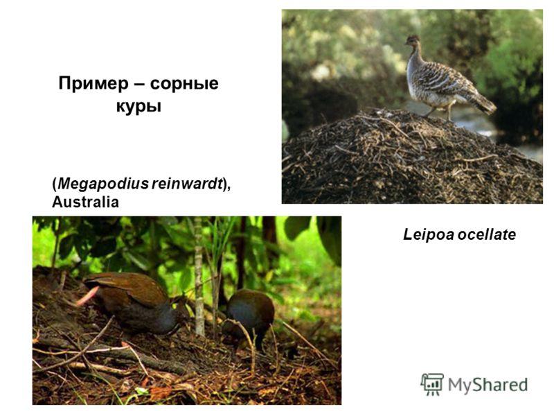 Leipoa ocellate (Megapodius reinwardt), Australia Пример – сорные куры
