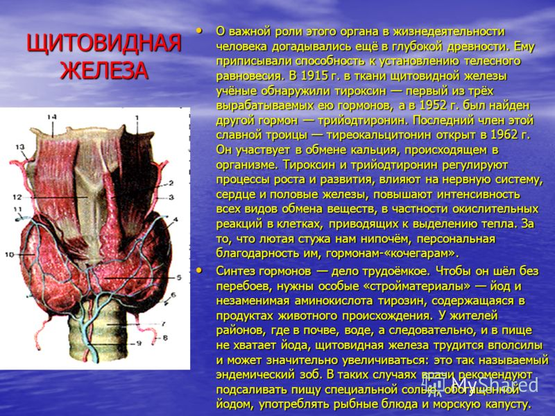 ЩИТОВИДНАЯ ЖЕЛЕЗА О важной роли этого органа в жизнедеятельности человека догадывались ещё в глубокой древности. Ему приписывали способность к установлению телесного равновесия. В 1915 г. в ткани щитовидной железы учёные обнаружили тироксин первый и