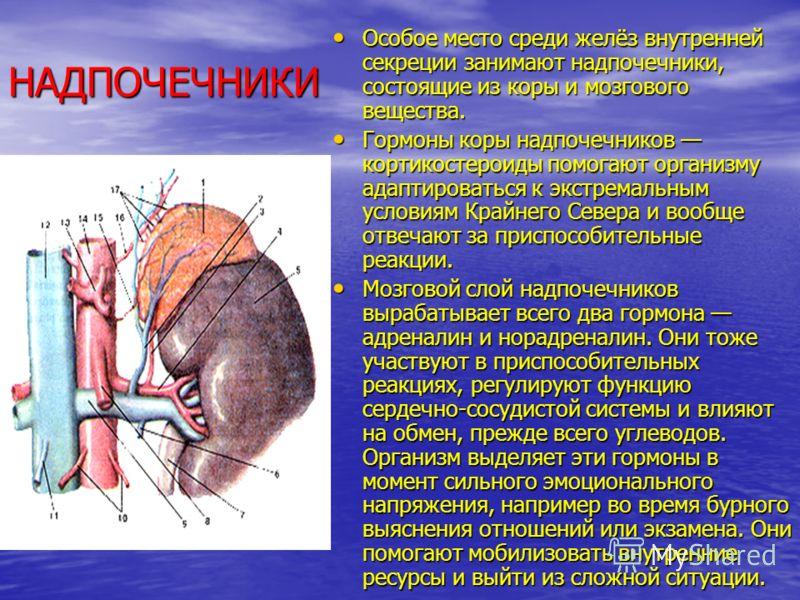 НАДПОЧЕЧНИКИ Особое место среди желёз внутренней секреции занимают надпочечники, состоящие из коры и мозгового вещества. Особое место среди желёз внутренней секреции занимают надпочечники, состоящие из коры и мозгового вещества. Гормоны коры надпоч