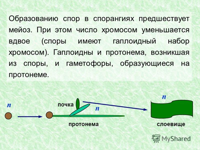 Образованию спор в спорангиях предшествует мейоз. При этом число хромосом уменьшается вдвое (споры имеют гаплоидный набор хромосом). Гаплоидны и протонема, возникшая из споры, и гаметофоры, образующиеся на протонеме. n почка протонема n слоевище n