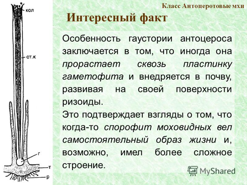 Особенность гаустории антоцероса заключается в том, что иногда она прорастает сквозь пластинку гаметофита и внедряется в почву, развивая на своей поверхности ризоиды. Это подтверждает взгляды о том, что когда-то спорофит моховидных вел самостоятельны